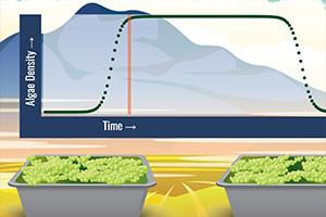 Algae Biofuel: Growing Green Goop